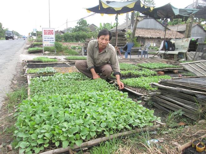 Ông Sang bên luống rau màu đã ươm chuẩn bị xuất bán.