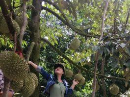 """Note gấp 3 vườn trái cây ăn sầu riêng """"mệt xỉu"""" gần xịt Sài Gòn"""