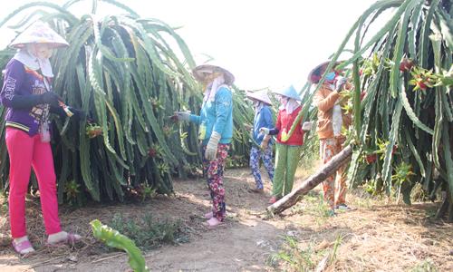 Người dân nên trồng thanh long theo tiêu chuẩn GAP để trái thanh long có giá ổn định.