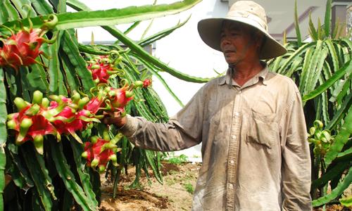 """Cây thanh long """"bén rễ"""" trên vùng đất nhiễm mặn của xã Kiểng Phước và đang từng bước giúp nâng cao  cuộc sống người dân."""