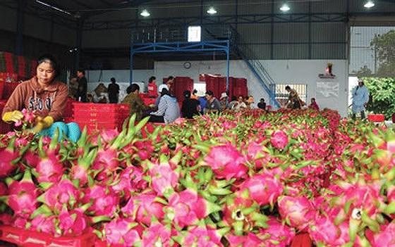 Thanh long miền Nam bán đổ 1.000 đồng/kg, ở Hà Nội vẫn 20.000 đồng/kg ảnh 2