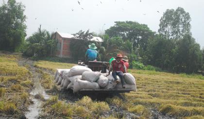 Sình lầy trên đồng khiến việc thu hoạch lúa gặp nhiều khó khăn.