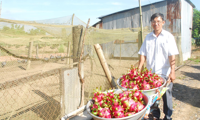 Nông dân sản xuất - kinh doanh giỏi Trần Văn Lực, ấp Bình Ninh, xã Bình Phan  (huyện Chợ Gạo) với mô hình nuôi gà sao kết hợp với trồng thanh long ruột đỏ. Ảnh: S.N
