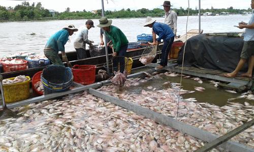 Các bè cá điêu hồng của ông Tăng chết gần như hoàn toàn, thiệt hại hàng tỷ đồng.