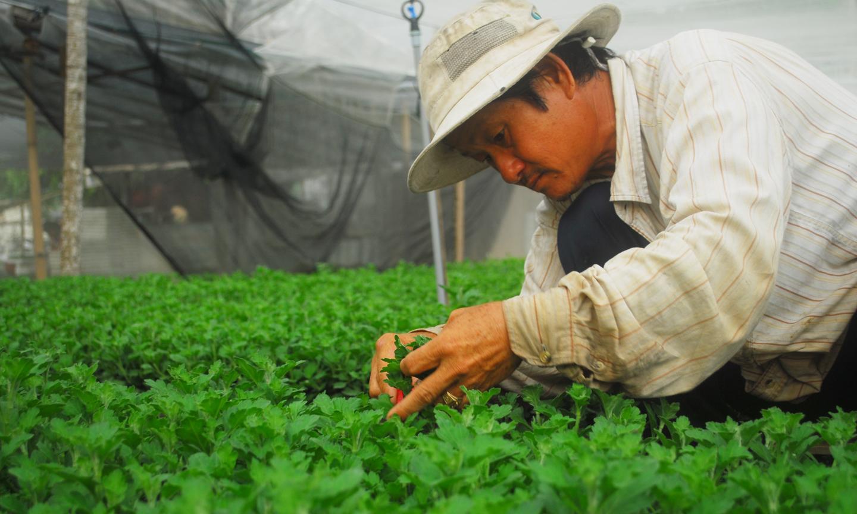 Người trồng hoa xã Mỹ Phong đang chăm sóc hoa cúc.