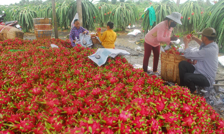 Thu hoạch thanh long tại xã Đăng Hưng Phước (huyện Chợ Gạo).                                                                           Ảnh: SĨ NGUYÊN