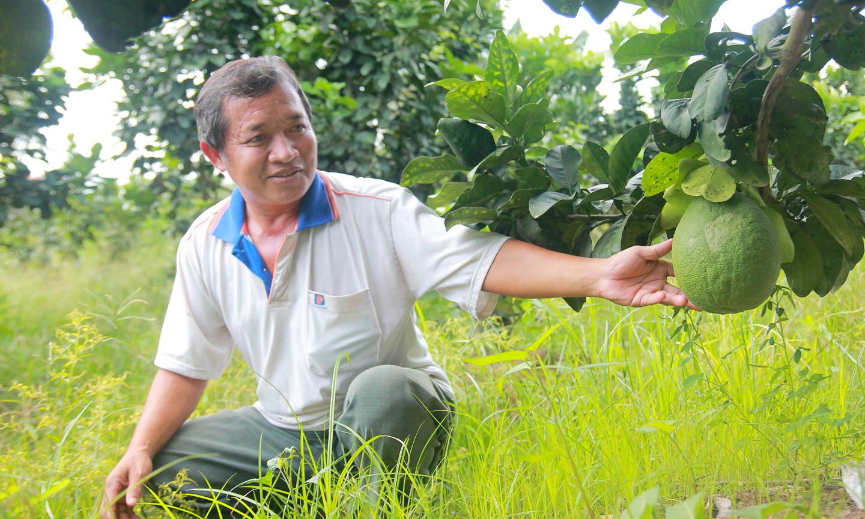 Ông Phạm Hoàng Minh thành công với mô hình trồng bưởi da xanh.