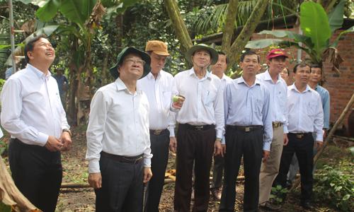 Lãnh đạo tỉnh khảo sát vùng trồng vú sữa tại huyện Châu Thành.