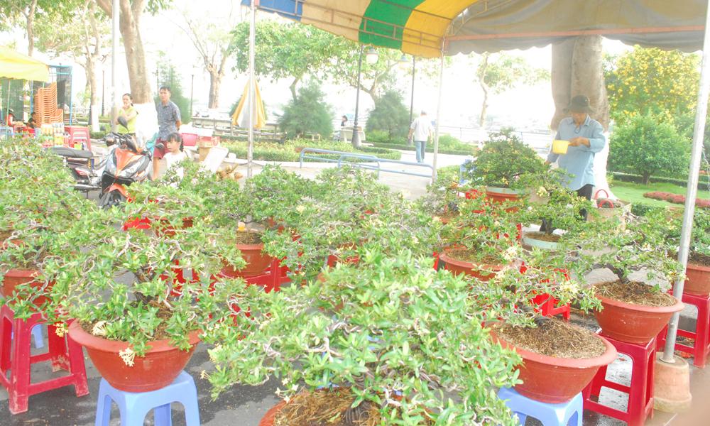 Bông trang vàng được uốn theo kiểu bonsai được bày bán giá 1 đến 2,5 triệu đồng/chậu.