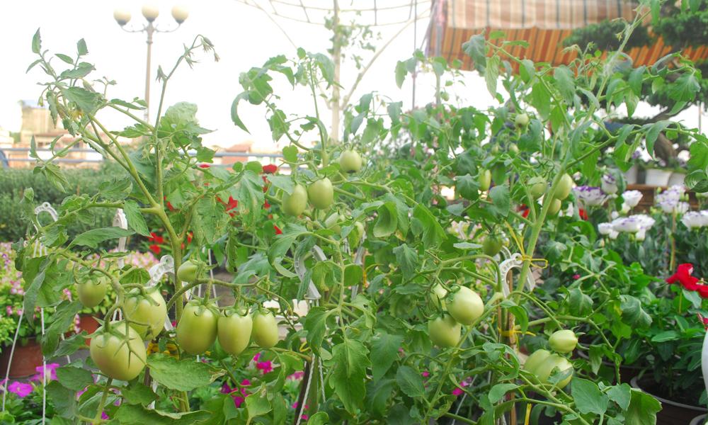 Cà chua trồng chậu cũng được bày bán trên phố.