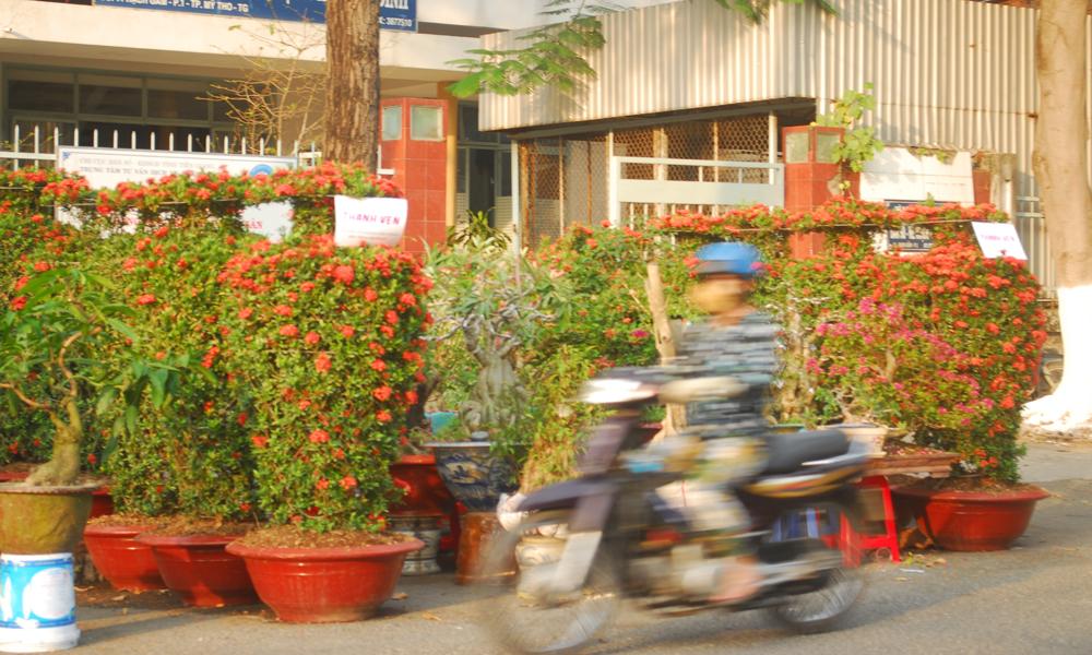 Bông trang đỏ được uống theo bình bày bán tại Chợ hoa Xuân TP. Mỹ Tho.