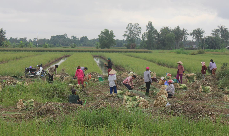 Thu hoạch sả ở huyện Tân Phú Đông.