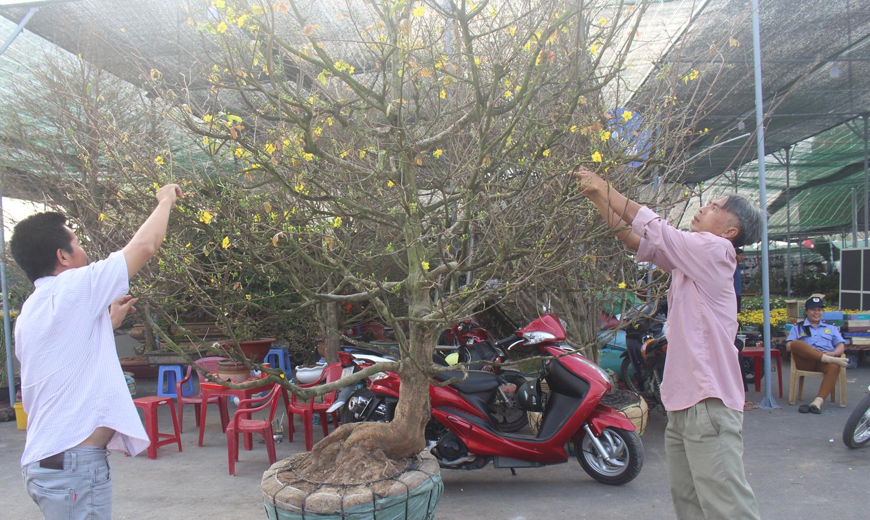 Anh Trần Hồng Phúc chăm sóc mai để bán, cho thuê chưng tết.