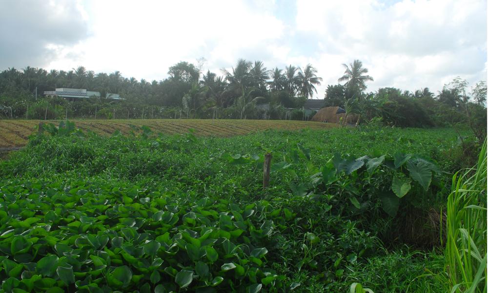 Tuyến kinh N8 thuộc xã Thạnh Trị (huyện Gò Công Tây), lục bình, cỏ đã tái chiếm lòng kinh. Nếu nhìn bình thường, ít ai nhận ra đây là một con kinh.