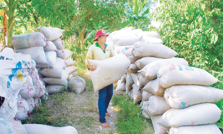 Nông dân thu hoạch lúa chờ thương lái đến thu mua.