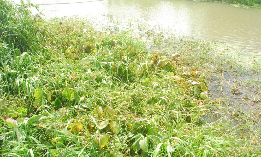 Dọc theo tuyến kinh thuộc Đường Bắc kinh Tham Thu thuộc các xã: Thạnh Trị, Yên Luôn, Thành Công (huyện Gò Công Tây) được ai đó dùng thuốc diệt cỏ để diệt lục bình, cỏ dọc theo tuyến kinh này.