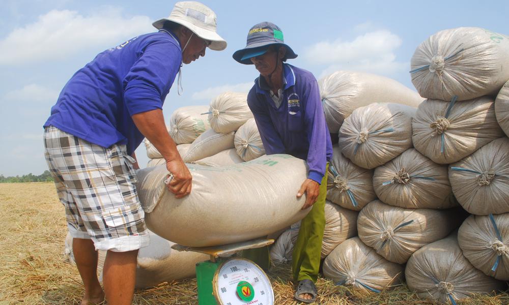Nông dân bắt đầu thu hoạch rộ vụ lúa đông xuân 2018-2019.