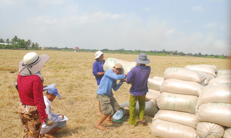 Thương lái đẩy mạnh thu mua lúa trong dân để dự trữ.