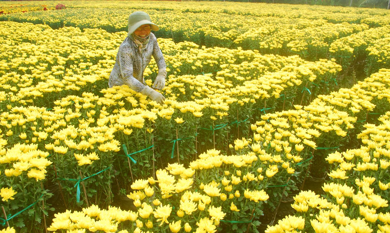 Bà Nguyễn Thị Kiều Diễm vui mừng vì năm nay trúng mùa hoa.
