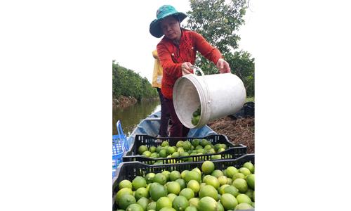 Phụ nữ xã Tân Lập 2: Phát triển mô hình trồng chanh không hạt