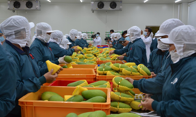 Đóng gói xoài xuất khẩu tại Công ty TNHH Chế biến nông sản Cát Tường.                                                                                                                                                                                                       Ảnh: P.A