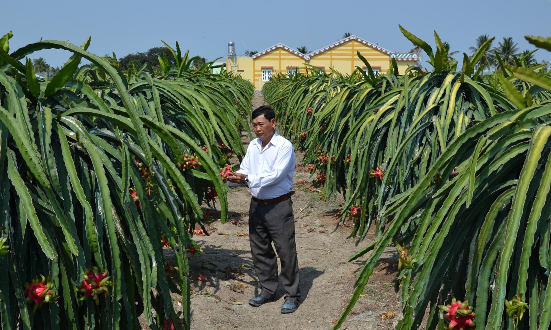 Cần kiểm soát việc tăng diện tích trồng thanh long.