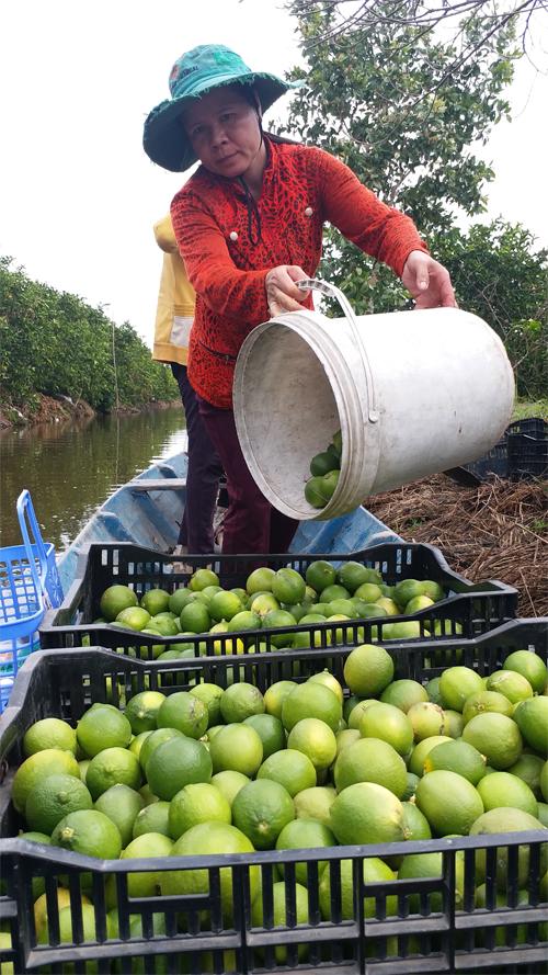 Phụ nữ xã Tân Lập 2 mạnh dạn khởi nghiệp, phát triển  kinh tế gia đình với mô hình trồng chanh không hạt.