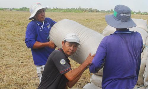 Nông dân trồng lúa vẫn đang hy vọng sẽ được hưởng lợi từ chủ trương mua dự trữ sớm 200.000 tấn gạo và 80.000 tấn lúa của Nhà nước.