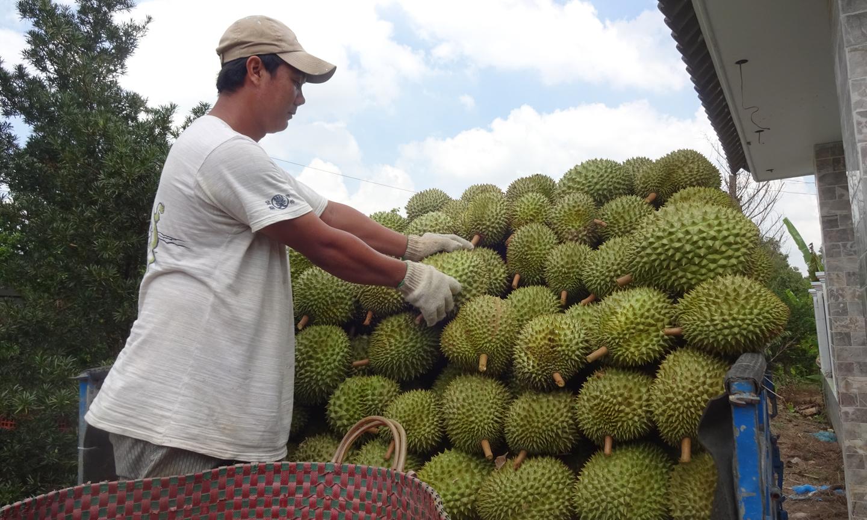 Xã Ngũ Hiệp chú trọng phát triển vùng chuyên canh cây ăn trái, với giống cây trồng chủ lực  có giá trị kinh tế cao là sầu riêng.