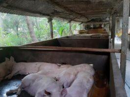 Tiền Giang: Tiêu hủy hơn 500 tấn lợn mắc bệnh dịch tả châu Phi