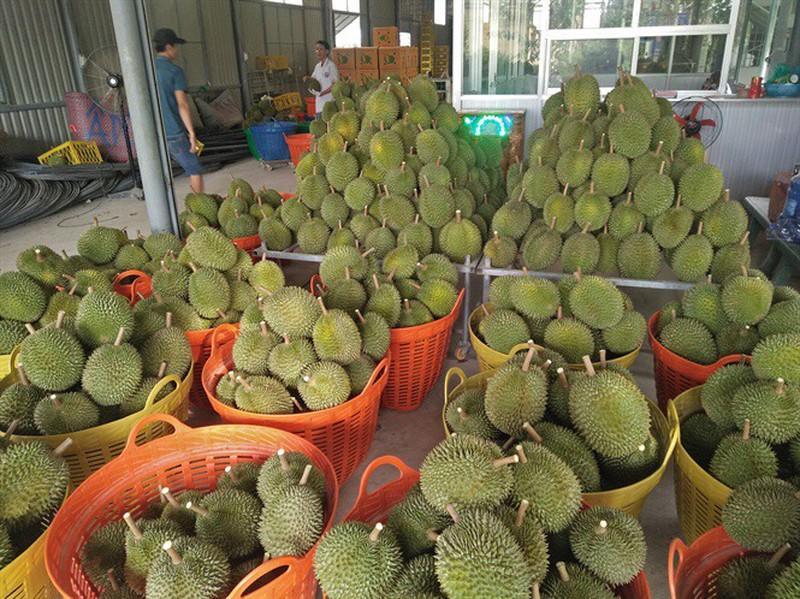 Sầu riêng loại trái cây đặc sản ở Tiền Giang.