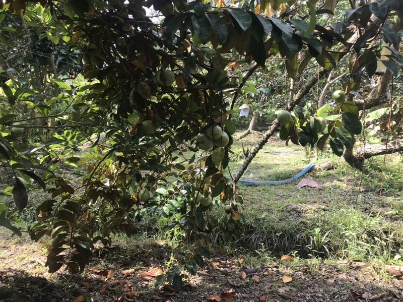 Vùng trồng vú sữa lò rèn ở Vĩnh Kim (Tiền Giang).