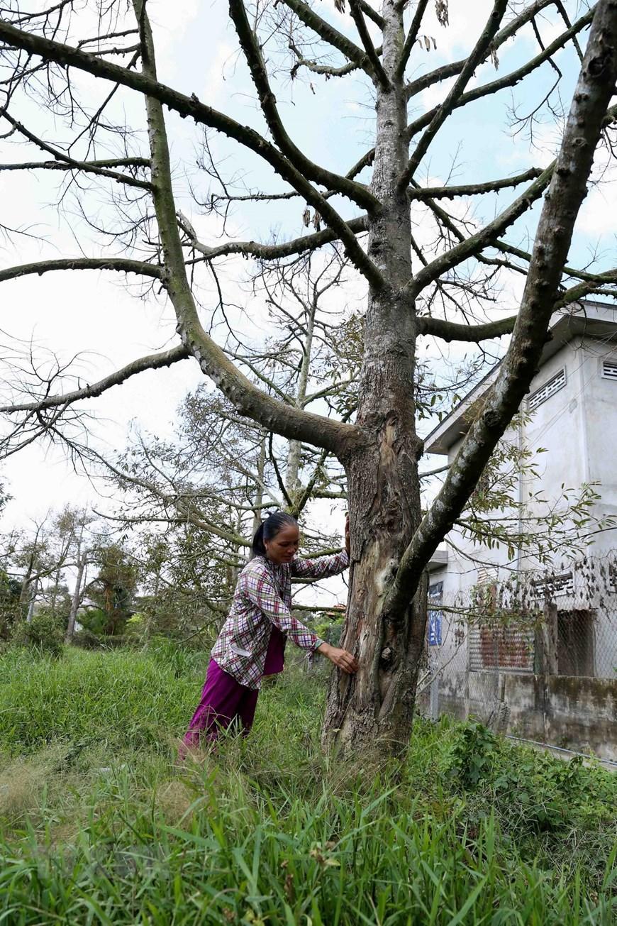 Chị Đặng Thị Nhiều ở ấp 12, xã Long Trung, huyện Cai Lậy bên cây sầu riêng hơn 10 năm tuổi không thể phục hồi được vì bị nhiễm mặn từ nhiều ngày trước đó. (Ảnh: Vũ Sinh/TTXVN)