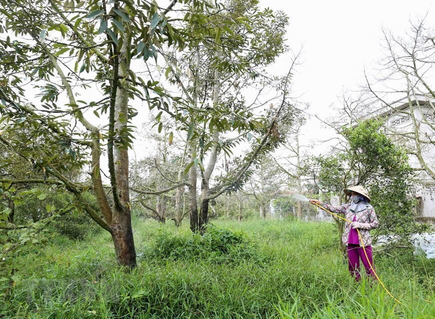 Cây sầu riêng trên 5 năm tuổi được cung cấp 100 lít/cây/lần, tháng tưới 4 lần (tương đương 80m3/ha/lần/tháng), cây sầu riêng dưới 5 năm tuổi được cung cấp 50 lít/cây/lần, tháng tưới 4 lần (tương đương 40m3/ha/lần/tháng). (Ảnh: Vũ Sinh/TTXVN)