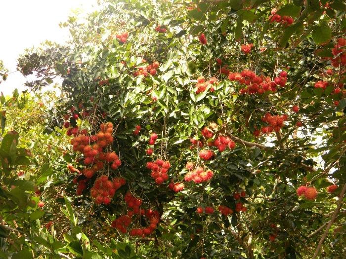 Màu chôm chôm đỏ rực ở cồn Thới Sơn