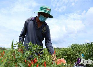 Giá ớt đang nhích dần lên, nông dân phấn khởi.